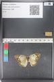 http://mczbase.mcz.harvard.edu/specimen_images/ent-lepidoptera/images/2011_03_23/IMG_078380.JPG