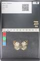 http://mczbase.mcz.harvard.edu/specimen_images/ent-lepidoptera/images/2011_03_23/IMG_078406.JPG