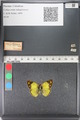 http://mczbase.mcz.harvard.edu/specimen_images/ent-lepidoptera/images/2011_03_23/IMG_078422.JPG
