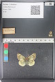 http://mczbase.mcz.harvard.edu/specimen_images/ent-lepidoptera/images/2011_03_23/IMG_078445.JPG