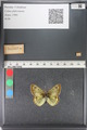 http://mczbase.mcz.harvard.edu/specimen_images/ent-lepidoptera/images/2011_03_23/IMG_078452.JPG