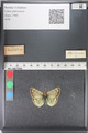http://mczbase.mcz.harvard.edu/specimen_images/ent-lepidoptera/images/2011_03_23/IMG_078454.JPG