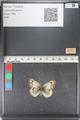 http://mczbase.mcz.harvard.edu/specimen_images/ent-lepidoptera/images/2011_03_23/IMG_078463.JPG