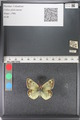 http://mczbase.mcz.harvard.edu/specimen_images/ent-lepidoptera/images/2011_03_23/IMG_078465.JPG