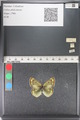 http://mczbase.mcz.harvard.edu/specimen_images/ent-lepidoptera/images/2011_03_23/IMG_078467.JPG