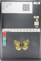 http://mczbase.mcz.harvard.edu/specimen_images/ent-lepidoptera/images/2011_03_23/IMG_078470.JPG