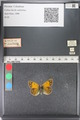http://mczbase.mcz.harvard.edu/specimen_images/ent-lepidoptera/images/2011_03_23/IMG_078480.JPG