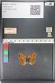 http://mczbase.mcz.harvard.edu/specimen_images/ent-lepidoptera/images/2011_03_23/IMG_078493.JPG