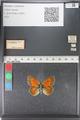 http://mczbase.mcz.harvard.edu/specimen_images/ent-lepidoptera/images/2011_03_23/IMG_078497.JPG