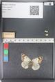 http://mczbase.mcz.harvard.edu/specimen_images/ent-lepidoptera/images/2011_03_23/IMG_078542.JPG