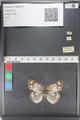 http://mczbase.mcz.harvard.edu/specimen_images/ent-lepidoptera/images/2011_03_23/IMG_078546.JPG