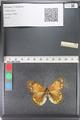http://mczbase.mcz.harvard.edu/specimen_images/ent-lepidoptera/images/2011_03_23/IMG_078548.JPG