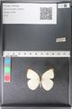 http://mczbase.mcz.harvard.edu/specimen_images/ent-lepidoptera/images/2011_03_29/IMG_079830.JPG