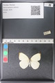 http://mczbase.mcz.harvard.edu/specimen_images/ent-lepidoptera/images/2011_03_29/IMG_079835.JPG