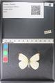 http://mczbase.mcz.harvard.edu/specimen_images/ent-lepidoptera/images/2011_03_29/IMG_079836.JPG