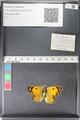 http://mczbase.mcz.harvard.edu/specimen_images/ent-lepidoptera/images/2011_03_30/IMG_080018.JPG