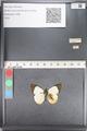 http://mczbase.mcz.harvard.edu/specimen_images/ent-lepidoptera/images/2011_05_02/IMG_085857.JPG