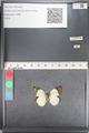 http://mczbase.mcz.harvard.edu/specimen_images/ent-lepidoptera/images/2011_05_02/IMG_085858.JPG
