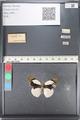 http://mczbase.mcz.harvard.edu/specimen_images/ent-lepidoptera/images/2011_06_06/IMG_087141.JPG