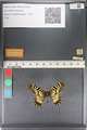 http://mczbase.mcz.harvard.edu/specimen_images/ent-lepidoptera/images/2011_07_01/IMG_089363.JPG