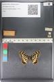 http://mczbase.mcz.harvard.edu/specimen_images/ent-lepidoptera/images/2011_07_01/IMG_089364.JPG