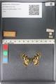 http://mczbase.mcz.harvard.edu/specimen_images/ent-lepidoptera/images/2011_07_01/IMG_089365.JPG