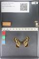 http://mczbase.mcz.harvard.edu/specimen_images/ent-lepidoptera/images/2011_07_01/IMG_089366.JPG