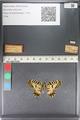 http://mczbase.mcz.harvard.edu/specimen_images/ent-lepidoptera/images/2011_07_01/IMG_089367.JPG