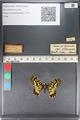 http://mczbase.mcz.harvard.edu/specimen_images/ent-lepidoptera/images/2011_07_01/IMG_089369.JPG