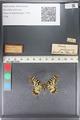 http://mczbase.mcz.harvard.edu/specimen_images/ent-lepidoptera/images/2011_07_01/IMG_089371.JPG