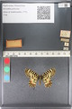 http://mczbase.mcz.harvard.edu/specimen_images/ent-lepidoptera/images/2011_07_01/IMG_089382.JPG