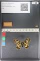 http://mczbase.mcz.harvard.edu/specimen_images/ent-lepidoptera/images/2011_07_01/IMG_089383.JPG