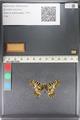 http://mczbase.mcz.harvard.edu/specimen_images/ent-lepidoptera/images/2011_07_01/IMG_089384.JPG