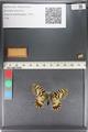 http://mczbase.mcz.harvard.edu/specimen_images/ent-lepidoptera/images/2011_07_01/IMG_089385.JPG