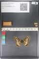 http://mczbase.mcz.harvard.edu/specimen_images/ent-lepidoptera/images/2011_07_01/IMG_089388.JPG