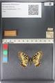 http://mczbase.mcz.harvard.edu/specimen_images/ent-lepidoptera/images/2011_07_01/IMG_089389.JPG