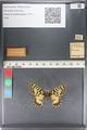 http://mczbase.mcz.harvard.edu/specimen_images/ent-lepidoptera/images/2011_07_01/IMG_089390.JPG