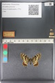 http://mczbase.mcz.harvard.edu/specimen_images/ent-lepidoptera/images/2011_07_01/IMG_089393.JPG