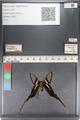 http://mczbase.mcz.harvard.edu/specimen_images/ent-lepidoptera/images/2011_07_01/IMG_089482.JPG