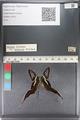 http://mczbase.mcz.harvard.edu/specimen_images/ent-lepidoptera/images/2011_07_01/IMG_089485.JPG