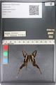 http://mczbase.mcz.harvard.edu/specimen_images/ent-lepidoptera/images/2011_07_01/IMG_089486.JPG