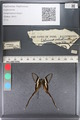 http://mczbase.mcz.harvard.edu/specimen_images/ent-lepidoptera/images/2011_07_01/IMG_089502.JPG