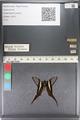 http://mczbase.mcz.harvard.edu/specimen_images/ent-lepidoptera/images/2011_07_01/IMG_089506.JPG