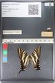 http://mczbase.mcz.harvard.edu/specimen_images/ent-lepidoptera/images/2011_07_01/IMG_089516.JPG
