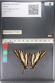 http://mczbase.mcz.harvard.edu/specimen_images/ent-lepidoptera/images/2011_07_01/IMG_089517.JPG