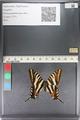 http://mczbase.mcz.harvard.edu/specimen_images/ent-lepidoptera/images/2011_07_01/IMG_089528.JPG