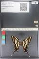 http://mczbase.mcz.harvard.edu/specimen_images/ent-lepidoptera/images/2011_07_01/IMG_089529.JPG