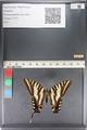 http://mczbase.mcz.harvard.edu/specimen_images/ent-lepidoptera/images/2011_07_01/IMG_089530.JPG