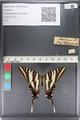 http://mczbase.mcz.harvard.edu/specimen_images/ent-lepidoptera/images/2011_07_01/IMG_089531.JPG
