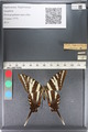 http://mczbase.mcz.harvard.edu/specimen_images/ent-lepidoptera/images/2011_07_01/IMG_089532.JPG